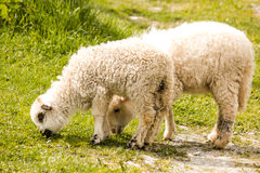 Two spring lambs grazing Stock Image