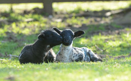 Two spring lambs lazing in the sun at Edale in Yorkshire Stock Image