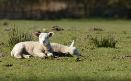 Two spring lambs lazing in the sun at Edale in Yorkshire Stock Photo