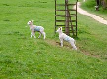 Two spring lambs looking for trouble stock images