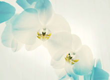 Two spring orchid flower. Close-up of white orchids on light background. white spring orchid flower Stock Image