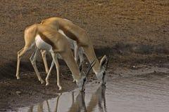Two Springbok drinking Royalty Free Stock Image