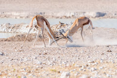 Two springbok rams fighting. Two springbok rams, Antidorcas marsupialis, fighting at a waterhole in Northern Namibia Stock Photography
