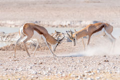 Two springbok rams fighting. Two springbok rams, Antidorcas marsupialis, fighting at a waterhole in Northern Namibia Royalty Free Stock Photography