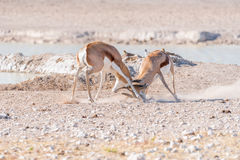 Two springbok rams fighting. Two springbok rams, Antidorcas marsupialis, fighting at a waterhole in Northern Namibia Royalty Free Stock Photos