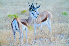 Two springbok standing together. Royalty Free Stock Images