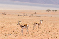 Two springboks. In the desert Stock Photos
