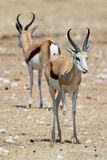 Two springboks. In etosha national park, namibia Stock Photo