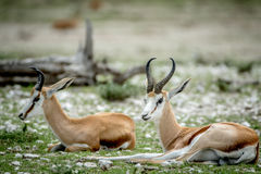 Two Springboks laying in the grass. Two Springboks laying in the grass in the Etosha National Park, Namibia Royalty Free Stock Image