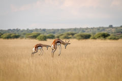Two Springboks pronking in the grass. Two Springboks pronking in the grass in the Central Kalahari, Botswana Royalty Free Stock Photography