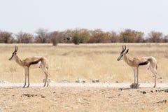 Two Springboks Stock Photo
