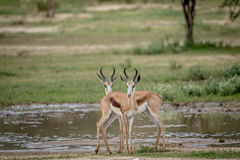Two Springboks starring at the camera. Two Springboks starring at the camera in the Kalagadi Transfrontier Park, South Africa Royalty Free Stock Image