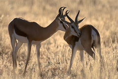 Two springbucks in the evening sun. The picture was taken in the Kgalagadi Transfrontier Park (Kalahari) in South Africa Royalty Free Stock Photography