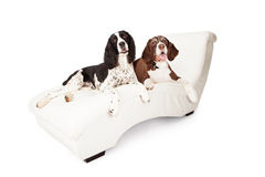 Two Springer Spaniel Dogs on a Chaise Lounge Stock Image