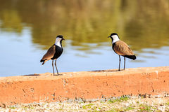 Two spur-winged lapwings Royalty Free Stock Photography