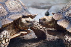 Two Spurred Tortoise Royalty Free Stock Photography