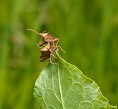 Two squash bugs Stock Photos