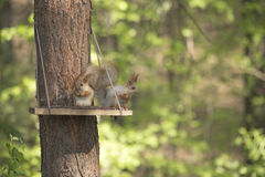 Two squirrel eating pine nuts in a manger made by people in the Stock Photo