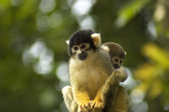 Two Squirrel Monkeys Royalty Free Stock Photos