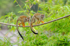 Two squirrel monkeys Royalty Free Stock Image