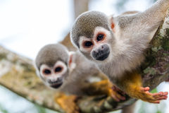 Two Squirrel Monkeys. View of two squirrel monkeys looking at the camera with on in focus and one out of focus in the Amazon rainforest in Colombia royalty free stock image