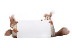 Two  squirrel Stock Photography