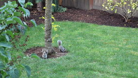 Two Squirrels Eating. Black oil sunflower seeds on the grass in a back yard of a home in Beaverton, Oregon one morning stock video