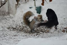 Two squirrels fight over bird seed. In winter in Ontario, Canada Stock Photo