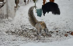 Two squirrels fight over bird seed. In winter in Ontario, Canada Stock Images