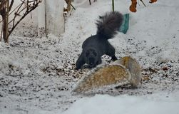 Two squirrels fight over bird seed. In winter in Ontario, Canada Royalty Free Stock Photos