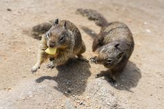 Squirrels. Two squirrels fighting for chip stock photography
