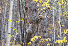 Two squirrels in forest. Two squirrels on a tree trunk in the wood stock image