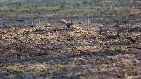 Two squirrels are looking for food among the dry leaves on the ground. Red squirrel or Eurasian red squirrel /Sciurus vulgaris/.  stock video
