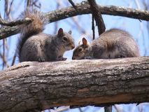 Free Two Squirrels Resting On A Tree Branch Stock Photo - 115265040