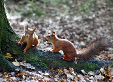 Two squirrels sit on tree roots. In the  forest Royalty Free Stock Photos