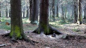 Two squirrels. In spring pine forest stock video footage
