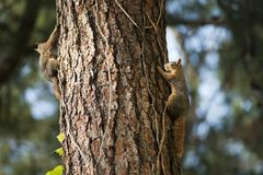 Two Squirrels on Tree Trunk Royalty Free Stock Images