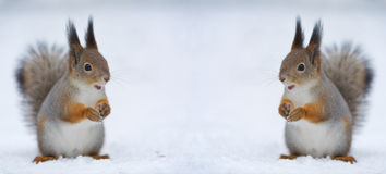 Two squirrels and two opened mouths stock image