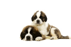 Two St Bernard puppies isolated on white Stock Photos