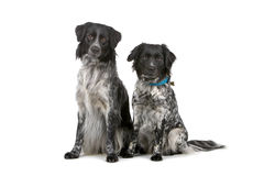 Two Stabyhoun dogs Stock Images