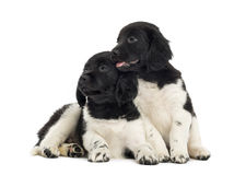 Two Stabyhoun puppies cuddling together, Stock Photography