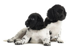 Two Stabyhoun puppies, isolated Royalty Free Stock Image
