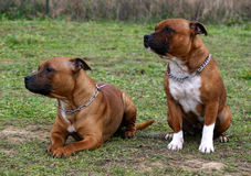 Two staffordshire. Two female purebred staffordshire bull terrier sitting in grass Royalty Free Stock Images