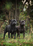 Two Staffordshire bull Terrier Royalty Free Stock Images