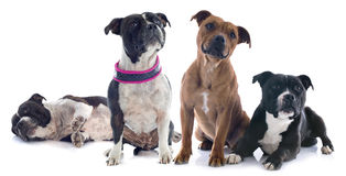 Two staffordshire bull terrier Royalty Free Stock Photos