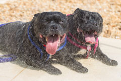 Two staffordshire bull terriers in a outdoor shower Stock Photos