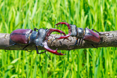 Two stag beetle moving together. Lucanus cervus is the best-known species of stag beetle; family Lucanida Stock Image
