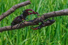 Two stag beetle moving together. Lucanus cervus is the best-known species of stag beetle (family Lucanidae Royalty Free Stock Image