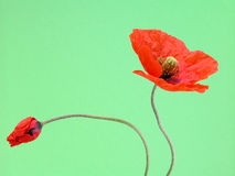 Two stages. Of poppy - little bud and lovely flower Stock Photo