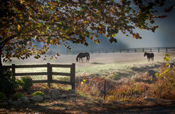 Two stalion horses graze in early morming mist Royalty Free Stock Image